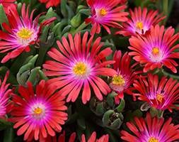 Delosperma 'Jewel of Desert Garnet' (PBR) (Jewel of Desert Series) (ice plant)