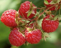 Raspberry  'Rubyfall (PBR)' (raspberry - autumn fruiting)