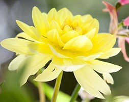 Dahlia 'Glorie van Heemstede' (dahlia tuber)