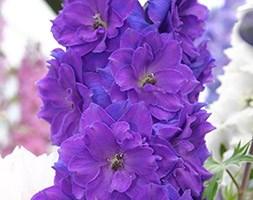Delphinium 'Pagan Purples (New Millennium Series)' (delphinium)