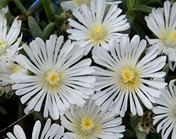 Delosperma White Wonder = 'Wowdw7' (Wheels of Wonder Series) (PBR) (ice plant)