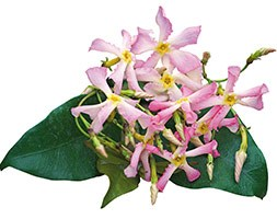 Trachelospermum asiaticum 'Pink Showers' (pink Chinesse jasmine)