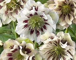 Helleborus x hybridus 'Double Ellen White Spotted' (hellebore Double Ellen White Spotted)