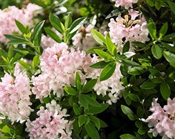 Rhododendron Bloombux ('Microhirs3') (PBR) (rhododendron (INKARHO group))