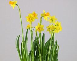 Narcissus 'Tête-à-tête' in glass pot (miniature daffs in a glass pot)