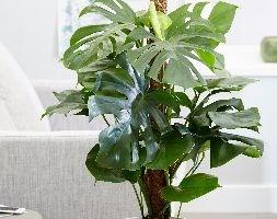 Monstera pertusum (swiss cheese plant)