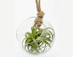 Hanging glass globe 'air plant terrarium' (Tillandsia)