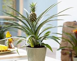Ananas champaca (ornamental pineapple)