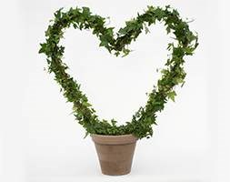 Hedera Heart in clay pot (Hedera heart in clay pot)