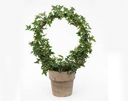 Hedera arch in clay pot (Ivy arch in clay pot)