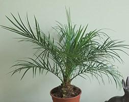 Phoenix roebelenii ( pygmy date palm, miniature date palm)