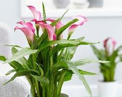 Zantedeschia 'Garnet Glow' (calla lily)