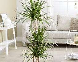 Dracaena marginata (dragon plant)