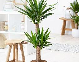 Yucca elephantipes (spineless yucca)