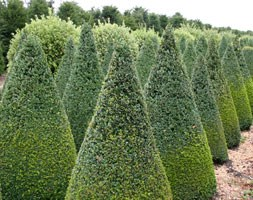 Buxus sempervirens (common box - cone)