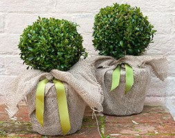 Buxus sempervirens (common box - ball)