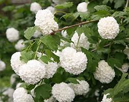 Viburnum opulus 'Roseum' (snowball tree ( syn. Sterile ))
