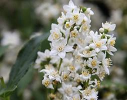 Deutzia gracilis (deutzia)