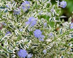Ceanothus thyrsiflorus 'Cool Blue' (PBR) (Californian lilac)