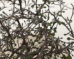 Corokia cotoneaster (wire-netting bush)