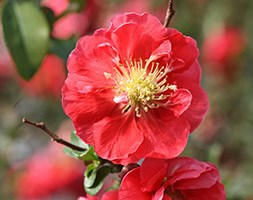 Chaenomeles speciosa andapos;Pink Stormandapos; (PBR) (flowering quince)