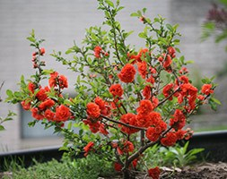 Chaenomeles speciosa 'Orange Storm' (PBR) (flowering quince)