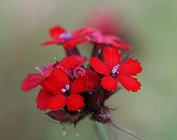 Dianthus cruentus (feld pink)