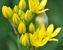 Allium moly (golden garlic)