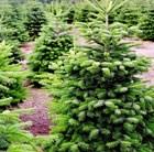 1.75-2m-christmas-tree