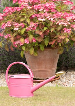 Pink haws watering can