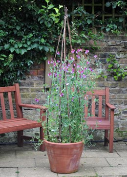 Willow poles for sweet peas