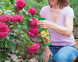 Organic bug and larvae killer for roses