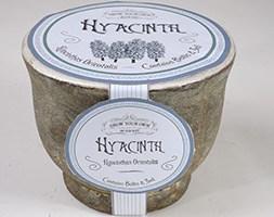 White hyacinth bulb kit