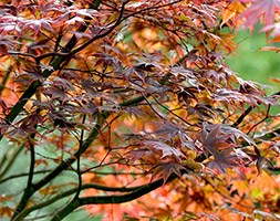 Acer palmatum (Amoenum Group) 'Atropurpureum' (Japanese maple)