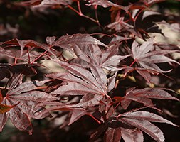 Acer palmatum (Amoenum Group) 'Bloodgood' (Japanese maple)