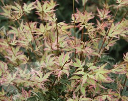 Acer palmatum 'Butterfly' (Japanese maple)