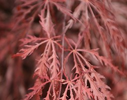 Acer palmatum (Dissectum Group) 'Garnet' (Japanese maple)