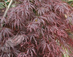 Acer palmatum (Dissectum Group) 'Inaba-shidare' (Japanese maple)