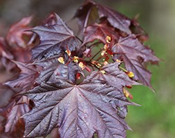 Acer platanoides 'Crimson King' (Norway maple)