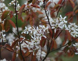 Amelanchier lamarckii (June berry)