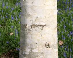 Betula utilis var. jacquemontii (west Himalayan birch)