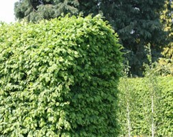 common hornbeam - hedging range