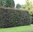 copper beech -  hedging range