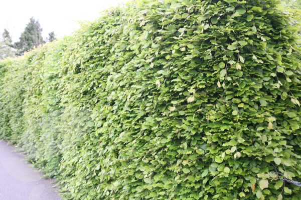 common beech - hedging range
