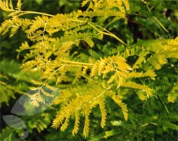 Gleditsia triacanthos 'Sunburst' (honey locust)