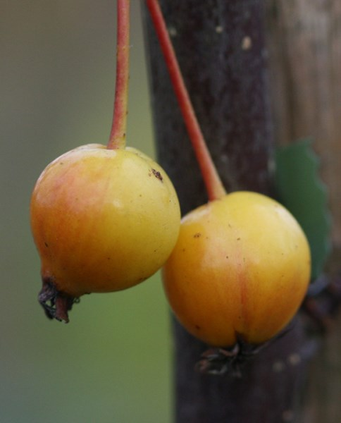 Japanese crab apple