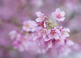 Prunus x incam 'Okame' (ornamental cherry)