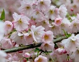 Prunus 'Pandora' (ornamental cherry)