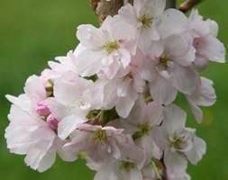 Prunus 'Amanogawa' (Japanese flowering cherry)