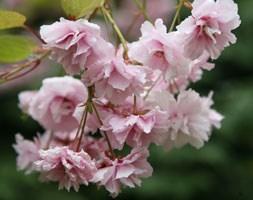 Prunus 'Kiku-shidare-zakura' (cheal's weeping cherry)